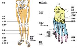 中殿筋・腸骨筋と下肢