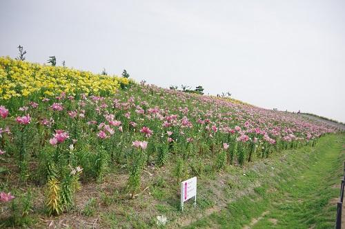 0037ゆり園ピンクゾーン