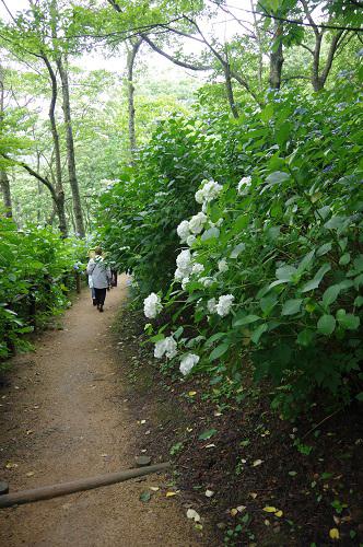 0046舞鶴自然文化園アジサイ