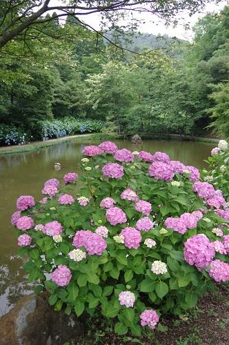 0054舞鶴自然文化園アジサイ