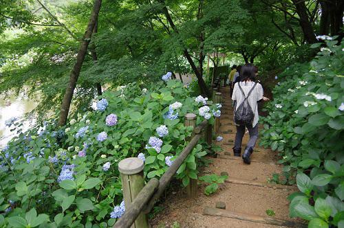0049舞鶴自然文化アジサイ園