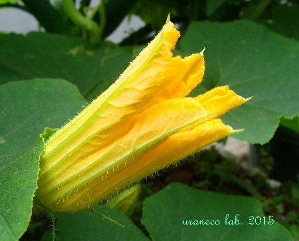 8月10日南瓜の花