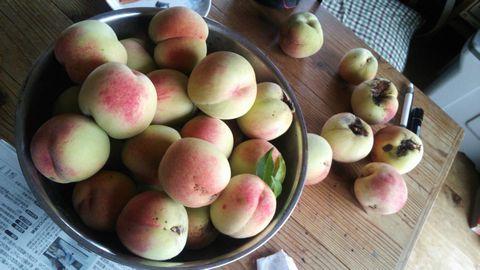 桃の収穫 20150712