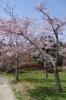 アーチと桜