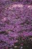 八重桜のカーペット