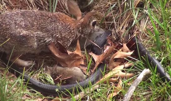 蛇と戦うウサギ01