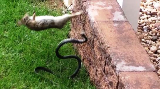 蛇と戦うウサギ02