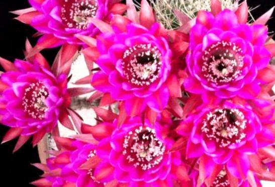 サボテンの花01