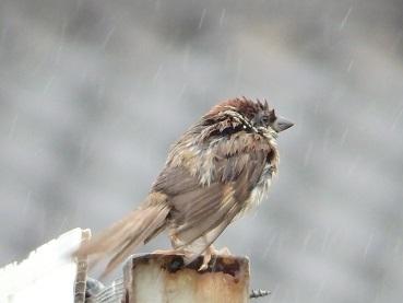 718濡れ雀