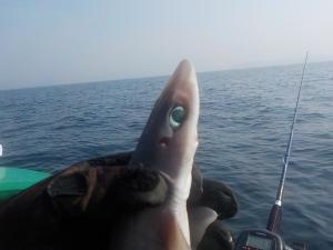 DSCN0787 - カラスザメ