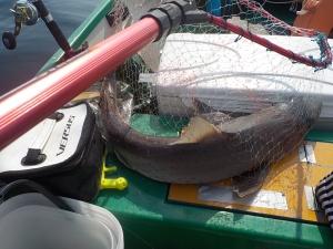 DSCN0796 - でかいカラスザメ