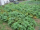 収穫期を迎えたジャガイモ