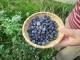 バアが収穫したブルーベリィ