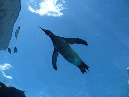 2015年7月16日旭山動物園ペンギン