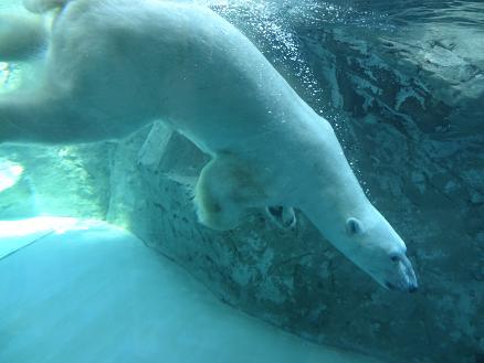 2015年7月16日旭山動物園シロクマ