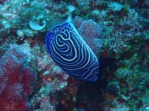 タテジマキンチャクダイ幼魚渦