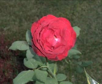 マダガスカルの赤バラ