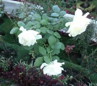 マダガスカルの白バラ