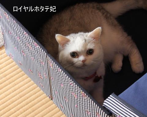 ロイヤルほたて猫