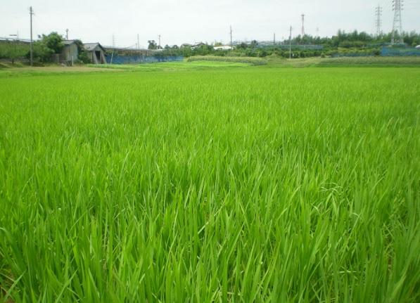 2015-7-2半夏生の日の稲