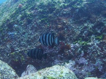 イシダイの若魚(1)