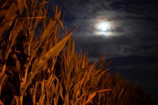 STK 7687 R - ロンバルディア平原のトウモロコシ畑・月と花・明日の満月を想う