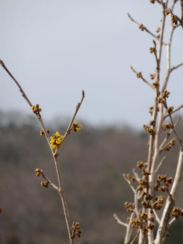 咲き始めたシナマンサク
