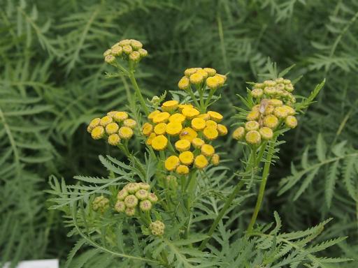 20150628・東大和植物06・ヨモギギク