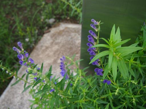 20150628・東大和植物01・コガネバナ