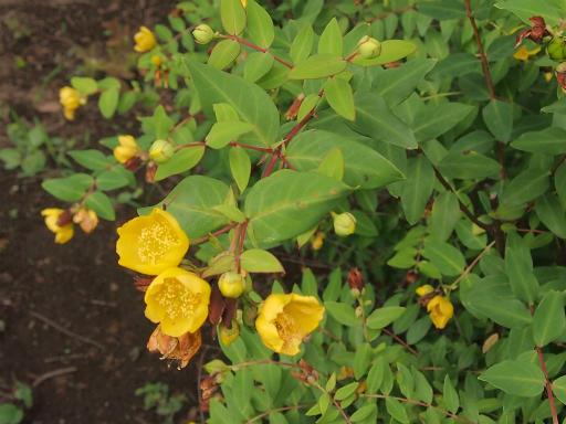 20150628・東大和植物09・キンシバイ