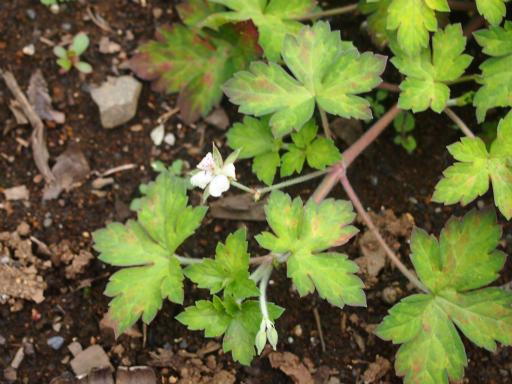 20150628・東大和植物18・ゲンノショウコ