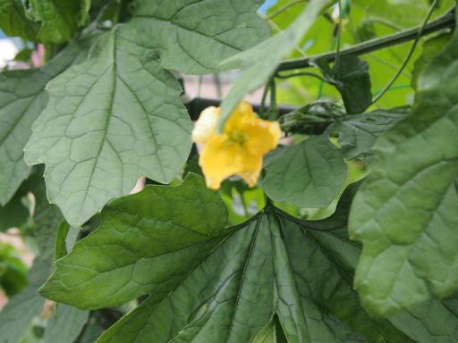 20150628・東大和植物23・ツルレイシ