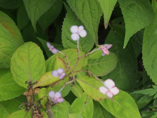 20150628・東大和植物28・オオアマチャ