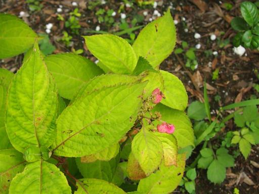 20150628・東大和植物27・アマチャ
