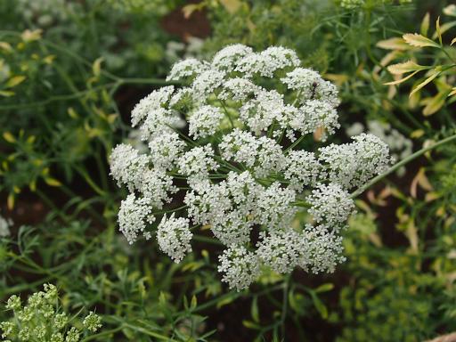 20150628・東大和植物32・アンミ・マユス