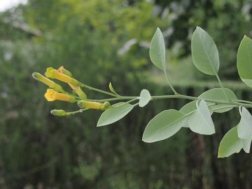 20150628・東大和植物33・キダチタバコ