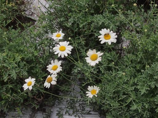 20150628・東大和植物31・シロバナムシヨケギク