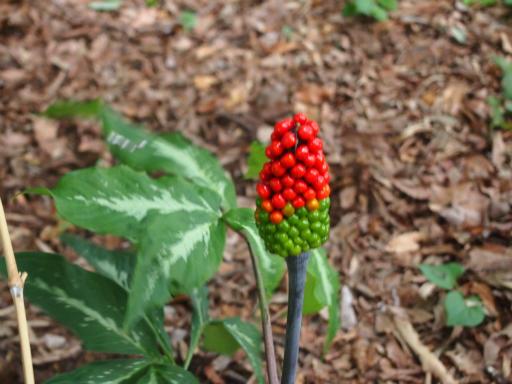 20150628・東大和植物38・ミミガタテンナンショウ(実)