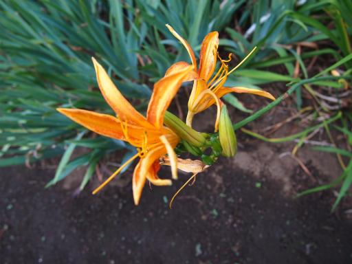 20150628・東大和植物37・ノカンゾウ