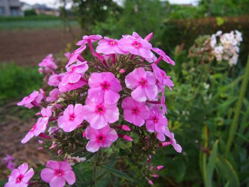 20150711・植物4・クサキョウチクトウ