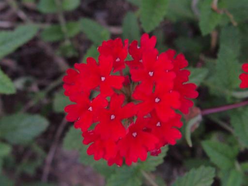 20150711・植物3・ヒメビジョザクラ