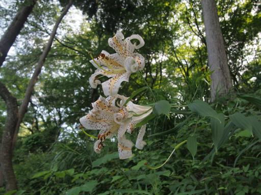 20150726・御岳植物01・ヤマユリ