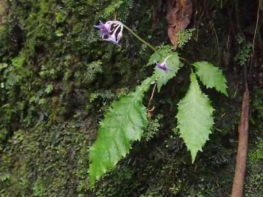 20150726・御岳植物10・イワタバコ