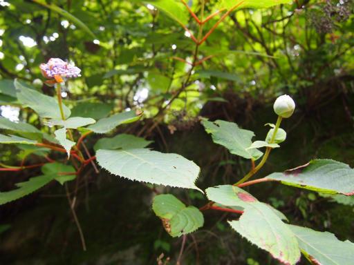 20150726・御岳植物09・タマアジサイ
