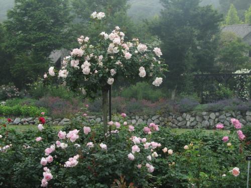 薔薇0001_13