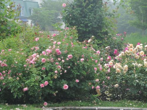 薔薇0001_12