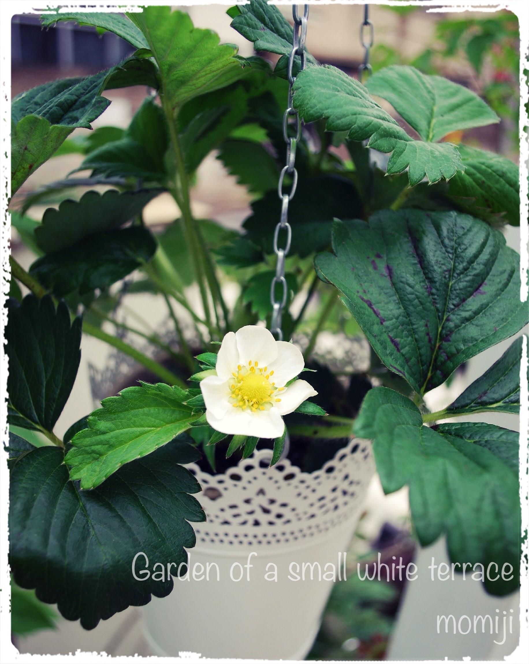 ドルチェベリー 四季なりイチゴの花