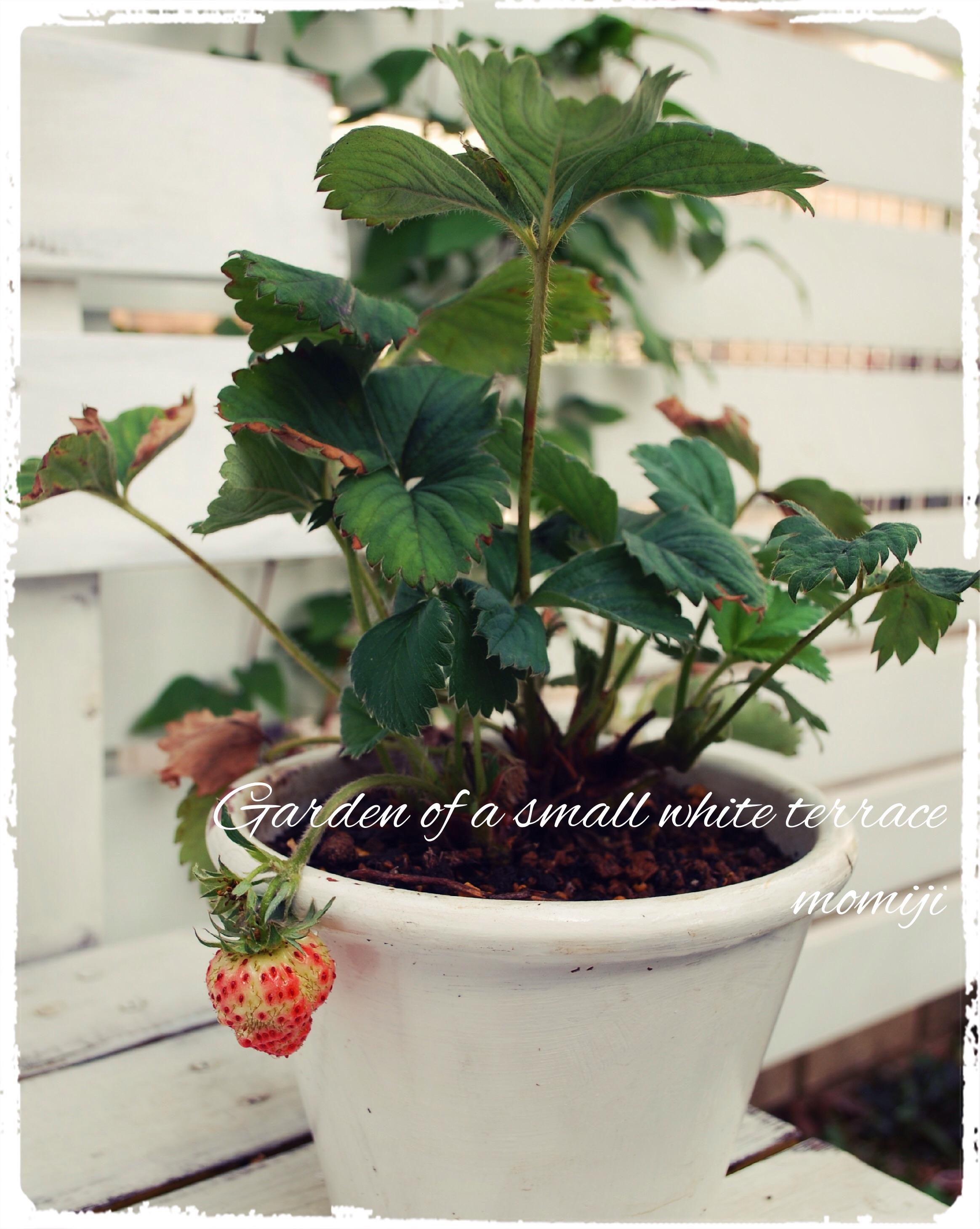 四季なりイチゴ ドルチェベリー