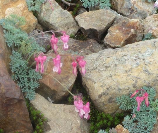白馬五竜高山植物園に咲くコマクサ