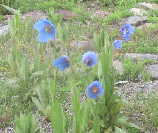 白馬五竜高山植物園に咲く珍しい青いケノの花、見応えあり